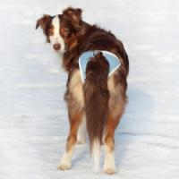 Фотография товара Трусы для собак Osso Fashion Absorb XL